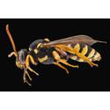 Faszinierende Wespen! Alles über die staatenbildenden und stechenden Hautflügler