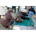 Daniela Schrudde, Welttierschutzgesellschaft (l.), prüft den Gesundheitszustand der Bären vor dem Transport nach Halych.