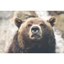 Nu startar licensjakten på björn – i år med stort fokus på god jaktetik