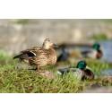 Matglada fåglar i Strömparken