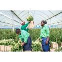 Tredubblad försäljning av schysst producerade rosor