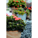 Pelargonium Brocade ´Salmon Night´