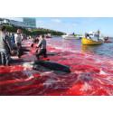 "AIDA und HapagLloyd boykottieren weiterhin Walfangland Färöer - TUI Cruises ""uneinsichtig"""