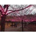 23 000 rosa blommor pryder träden på Furutorpsplatsen