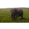 Pressemitteilung | Story zum Welt-Elefanten-Tag (12.8.): Neue Hoffnung für verwaistes Elefantenkalb Sapon