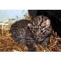Amurleopardunge född i Parken Zoo Eskilstuna – allmänheten får gissa lillens vikt