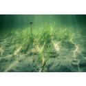 """HaV vill öka skyddet för ålgräs: """"Viktigast förebygga skador på havets barnkammare"""""""