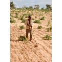 Torrtåliga arter frodas trots att regnen återvänder i Sahel