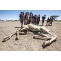 Når kamelene dør