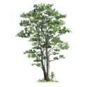 Bli ditt favoritträd när du dör
