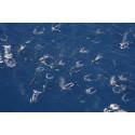 Pukkelhvaler i Grønland i stort antal