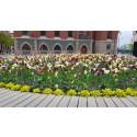 Återplantera stadens blomsterlökar hemma i trädgården