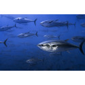 Blåfenad tonfisk märks med sändare på västkusten