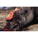 Tjuvjakten på noshörning ökar i Sydafrika