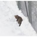 En persisk leopardunge är född – fick uppleva snö för första gången