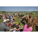 Dags för sommarbete hos Norrmejeriers mjölkbönder i Västernorrland