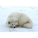 20 vita mårdhundar släppta i norra Sverige