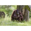 Orangutangungen Brutus