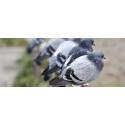 Hvorfor bliver fugle anset som skadedyr?