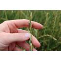 Är fleråriga grödor bättre i ett torrare klimat?