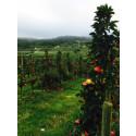 Äppleloppet 3 oktober 2014 i Smålands Toscana
