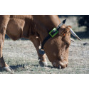 Sensorhalsband digitaliserar djurhållningen med hjälp av Sigfox