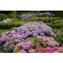 Trädgårdsexperten svarar på frågor om trädgårdshortensians blomningstid i nytt filmklipp