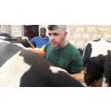 Dr. Youssef ist regelmäßig in Aleppo und Umgebung unterwegs, um Nutztiere – in diesem Fall Kühe – zu behandeln.