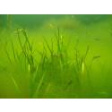 Rovfisk kan motverka övergödningsproblem
