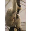 Vitkindad Gibbon född på Parken Zoo