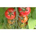 Smarta tomater – en möjlighet för Kronoberg