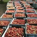 Rekordår för Brämhults äppelodlare