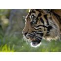 WWF: Glädjande ökning av världens tigrar