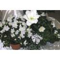 Hvite blomster til jul