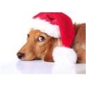 Nya HusdjursPanelen visar: Svenska husdjursägare planerar julfirandet efter sina husdjur - Var fjärde klär husdjuret i speciella klädesplagg och serverar husdjuret särskild mat över julen