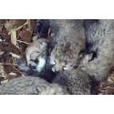 Gepardunger for første gang i Dyreparken