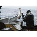 Rekordstor torskeeksport i november