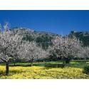 Schmuddelwetter ade, ab in den Frühling - Mandelblüte auf Mallorca steht in den Startlöchern