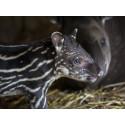 Tapir har fötts på Parken Zoo