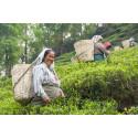 Strejken i indiska Darjeeling är slut - priserna förväntas fortsätta stiga.