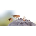 Ig Nobel-pris till SLU-ledd forskning om bananflugor