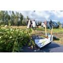 Norra Europas största lakritsrotsplantage växer
