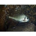 Mycket ovanlig fisk på Havets Hus