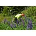 Krafttag krävs mot invasiva vägkantsväxter