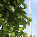 Humle, rosor och perenner. Åtta nya sorter presenteras i Grönt kulturarv®-sortimentet!