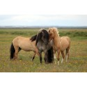 A horse of a different colour: genetics of camouflage and the Dun pattern