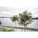 Sett oliventreet ut på terrassen om sommeren