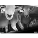 Får i djurtransport