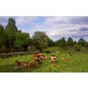 Vi betalar gärna mer för Naturbeteskött och bevarandet av den svenska hagen