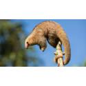Seks nye arter dværgmyreslugere gemte sig for næsen af forskerne
